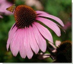 Эхинацея — волшебное растение для иммунной системы