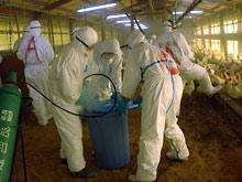 В Японии дал о себе знать особо опасный штамм вируса H5N1