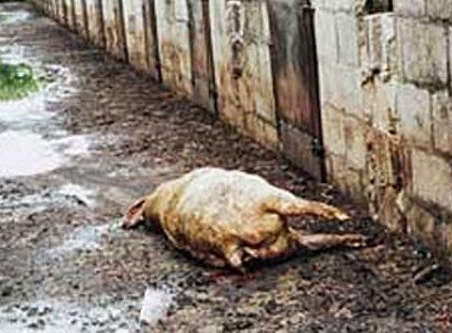 В Омске готовятся к введению карантина по африканской чуме свиней