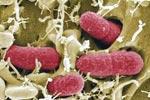 Новая кишечная бактерия имеет африканские корни