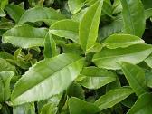 Зеленый чай сулит победу над аутоиммунными заболеваниями!