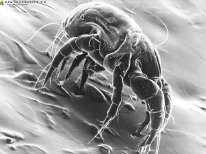 Домашний пылевой клещ – реальная опасность
