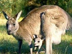 Антимикробные вещества млекопитающих Австралии лучше антибиотиков