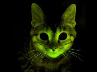 Ученые создали светящихся котов для изучения СПИДа