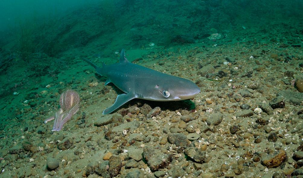 Защиту от инфекций можно получить от акулы