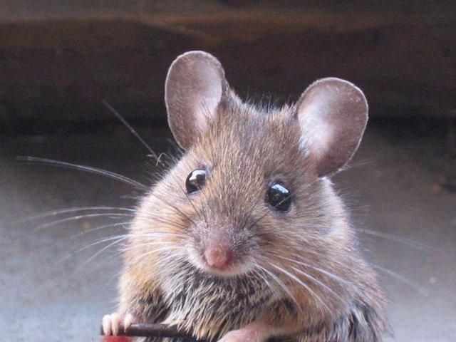Всплеск заболевания «мышиной лихорадкой» ждёт осенью Приволжье