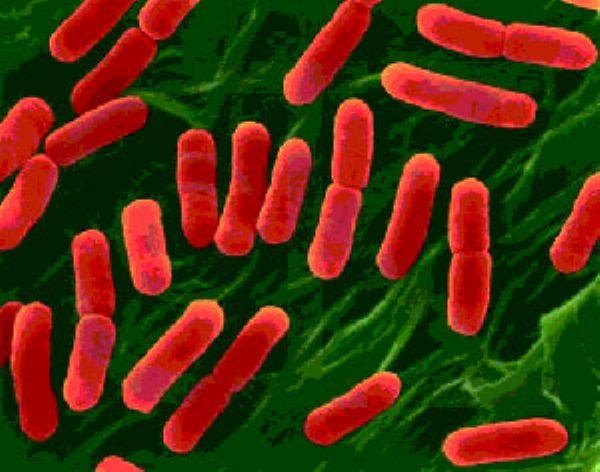 Изучать «смертельную» кишечную палочку будут учёные семи европейских стран