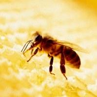 Мед — пища богов и «пчелиный пенициллин»