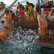 Каждая восьмая партия дальневосточной рыбы заражена гельминтами