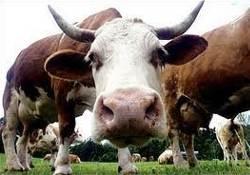 Инфицированных коровьим бешенством людей – миллионы