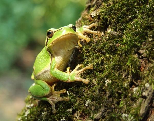Из кожи лягушек будут делать мощное антибактериальное средство