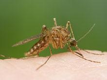 Угроза вируса чикунгунья нависла над американским континентом