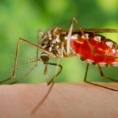 Вирус Денге стимулирует голод у комаров-переносчиков инфекции