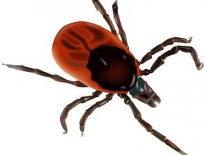 Клещей стоит опасаться не только из-за энцефалита и боррелиоза, но и других заболеваний