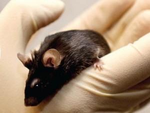Американец заразился от спасенной им мыши бубонной чумой