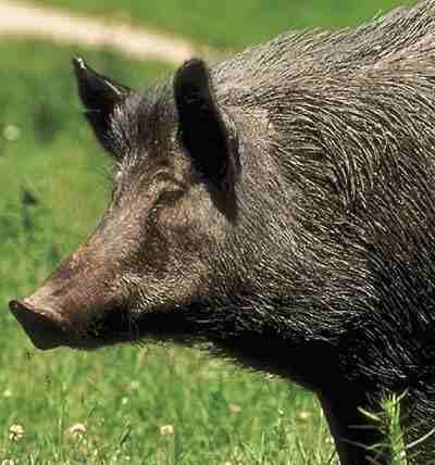 Случаи африканской чумы свиней вновь зафиксированы в Тверской области