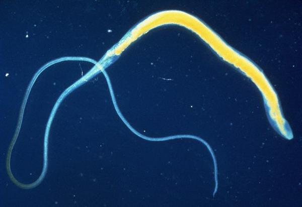 Паразитические черви необходимы для управления иммунитетом