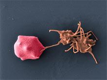 Особенности генетики делают африканцев беззащитными перед малярией