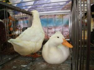 В Пхеньяне подтвердилась вспышка птичьего гриппа H5N1