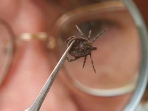 Знакомство с клещами как извлечь паразита