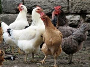 Китайский птичий грипп снова завезли в Гонконг
