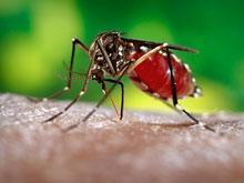 Эпидемиологи обеспокоены активизацией очередного тропического вируса