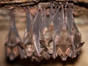 Новый коронавирус может передаваться человеку от летучих мышей