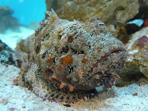 Изучение яда рыбы-камня поможет при разработке новых иммуносупрессоров