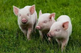 Грипп: люди, свиньи и охрана здоровья