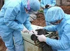 Птичий грипп: новая вспышка