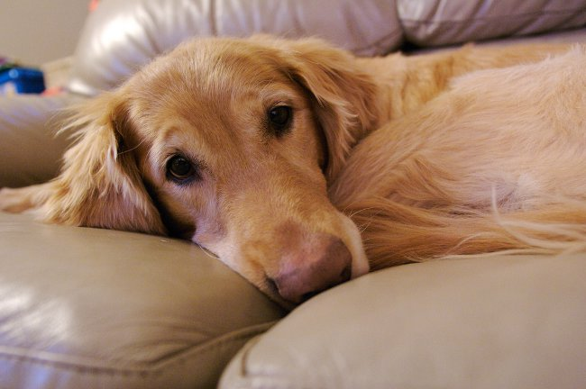 Как обнаружить и вылечить токсоплазмоз у собак?