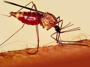 Москиты, переносящие малярию, больше не боятся распространенных инсектицидов