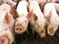 Медики рассказали об уникальном случае заражения человека инфекцией свиней