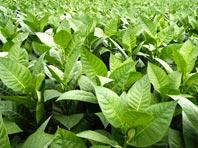 Листья табака — универсальное средство от болезней кожи
