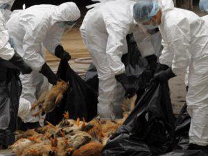 Вирус птичьего гриппа H7N9 – опасность для человечества