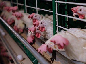Новые вспышки птичьего гриппа зафиксировали в Мексике