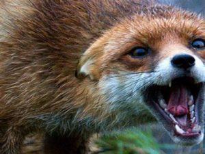 В Орловской области у четырёх лисиц диагностировали бешенство