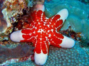 Настойка морской звезды оказалась иммуномодулятором