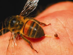 Пчелиный яд способен эффективно и безопасно уничтожать клетки ВИЧ