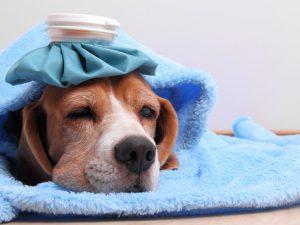 Как распознать, что у вашей собаки — грипп?