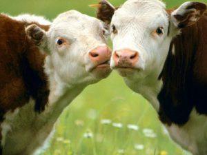 Спасти людей от ВИЧ могут коровы