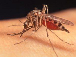 В Краснодаре комары заразили сразу нескольких человек лихорадкой Западного Нила