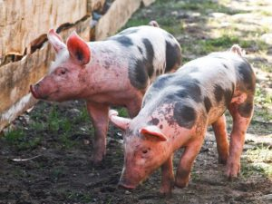 Россия сообщает о вспышке африканской чумы свиней у границы с Китаем