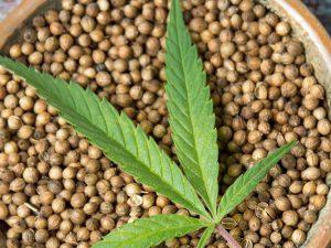 Невероятные качества конопляных семян