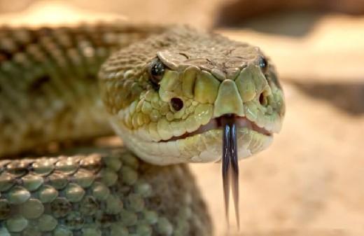 Открытие: ядовитые змеи скрывают в себе лекарство от коронавируса
