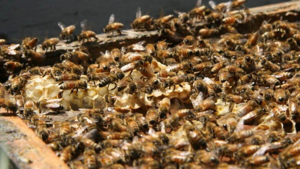 Исследователи хотят использовать пчел для поиска людей с COVID-19