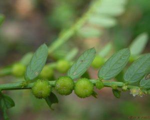 Китайское растение может помочь в лечении COVID-19