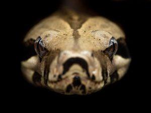 Бразильский змеиный яд поможет в борьбе с COVID-19